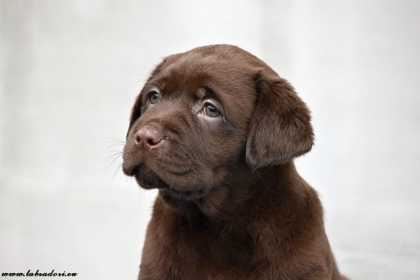 brown girl puppy o